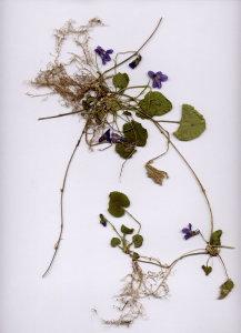 48A Viola alba